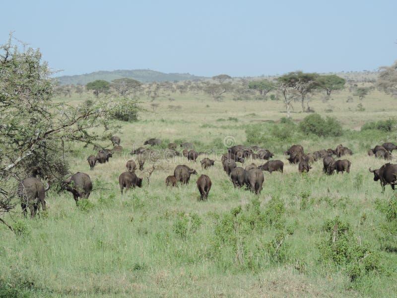 Búfalos africanos no parque nacional de Serengeti, Tanzânia fotos de stock