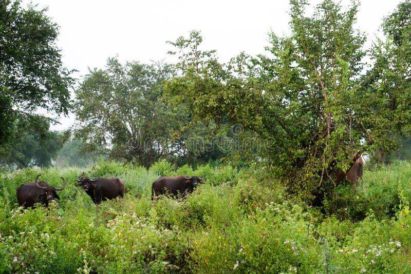 Búfalos de água que pastam no parque nacional do udawalawe, Sri Lanka foto de stock