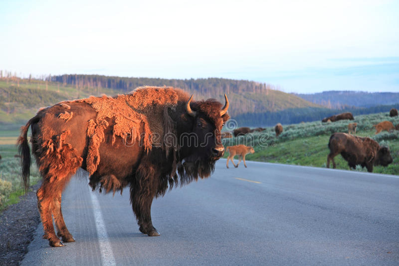 búfalos del grupo que cruzan el camino   fotografía de archivo
