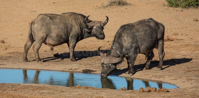 Búfalos do cabo com os grandes chifres curvados em um waterhole imagens de stock