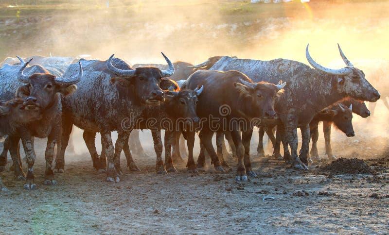 Búfalos em field7 foto de stock