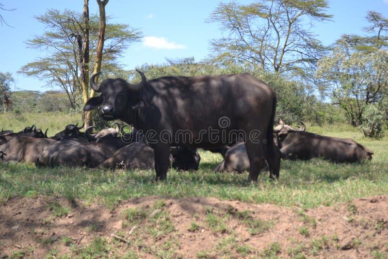 Búfalos em kenya fotografia de stock royalty free