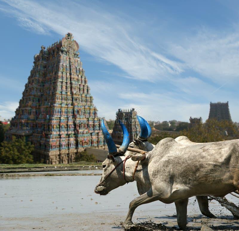 Búfalos en el fondo de Meenakshi hindú imagen de archivo