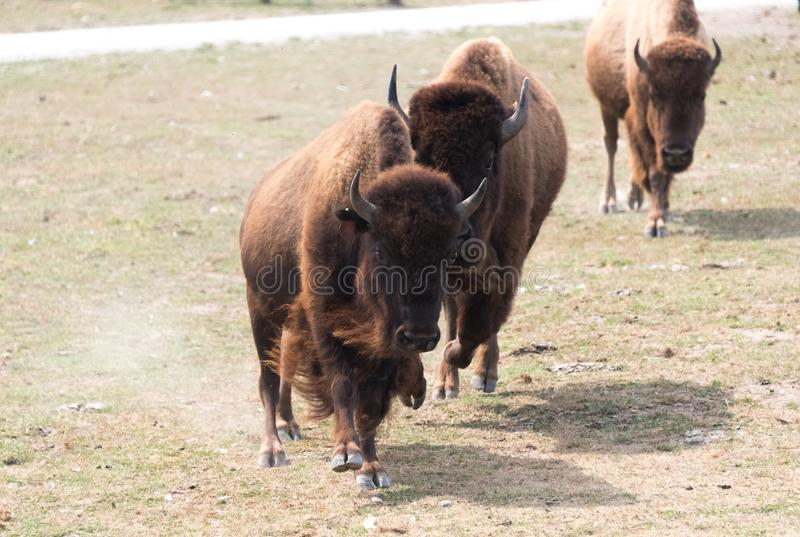 Búfalos grandes en una granja del safari del país imagen de archivo