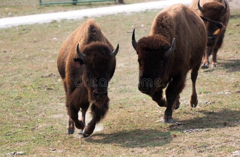 Búfalos grandes en una granja del safari del país imágenes de archivo libres de regalías