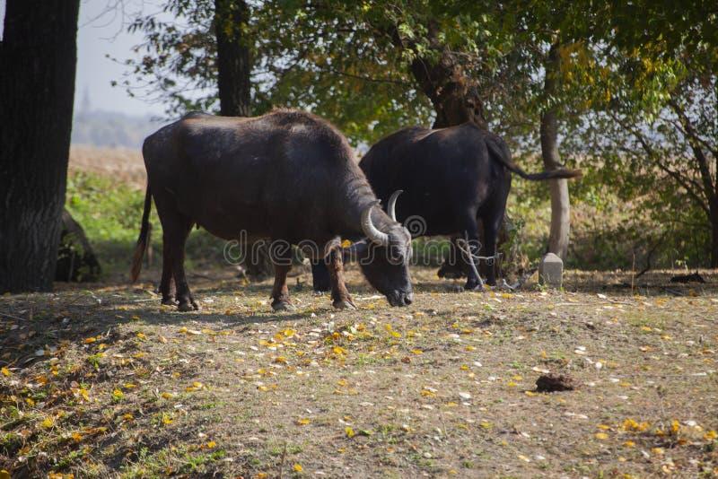 Búfalos indianos na floresta perto do lago em serbia imagem de stock