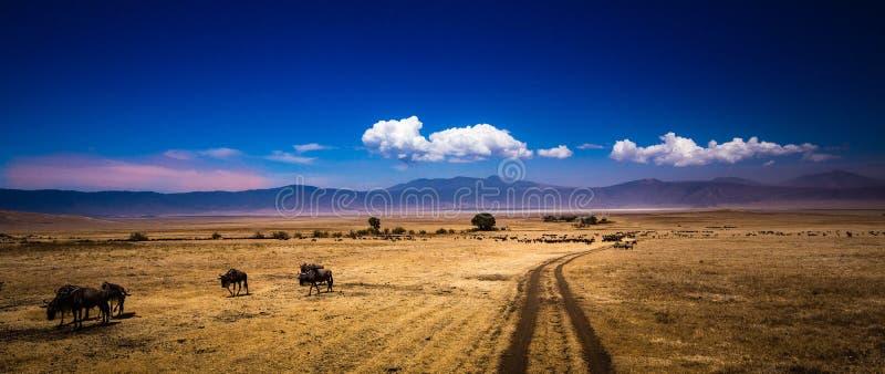 Búfalos na cratera de Ngorongoro em Tanzânia imagem de stock royalty free