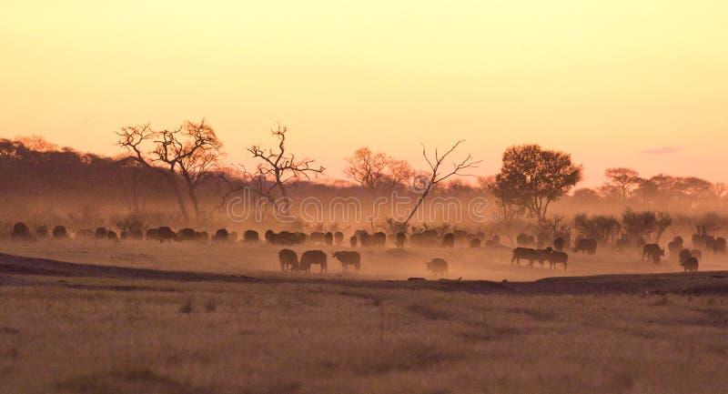 Búfalos na poeira no crepúsculo fotografia de stock