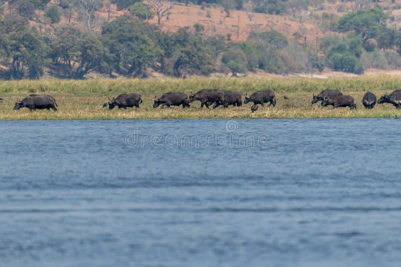 Búfalos nos wetlangs no nationalpark do chobe em botswana em África foto de stock royalty free