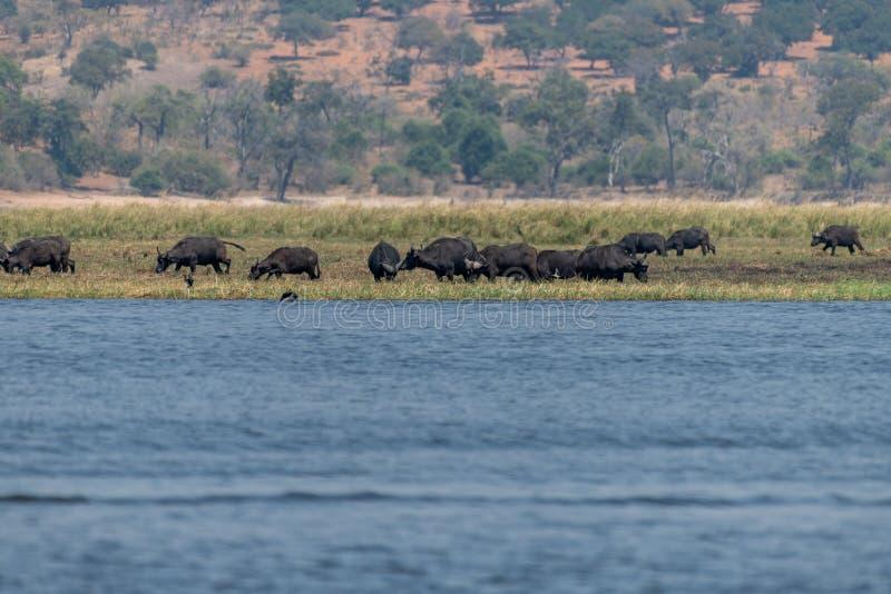 Búfalos nos wetlangs no nationalpark do chobe em botswana em África fotos de stock