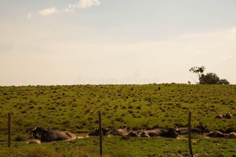 Búfalos que banham-se na tarde quente fotografia de stock