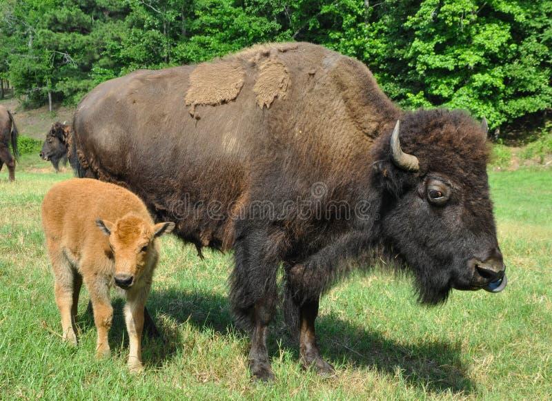 Búfalos que vagan por en un campo imagen de archivo