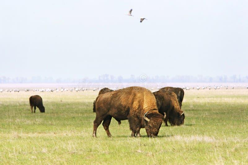 Búfalos selvagens fotos de stock