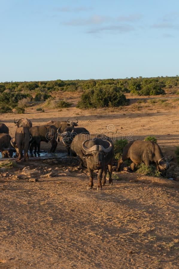 Búfalos selvagens no waterhole no savana africano imagens de stock