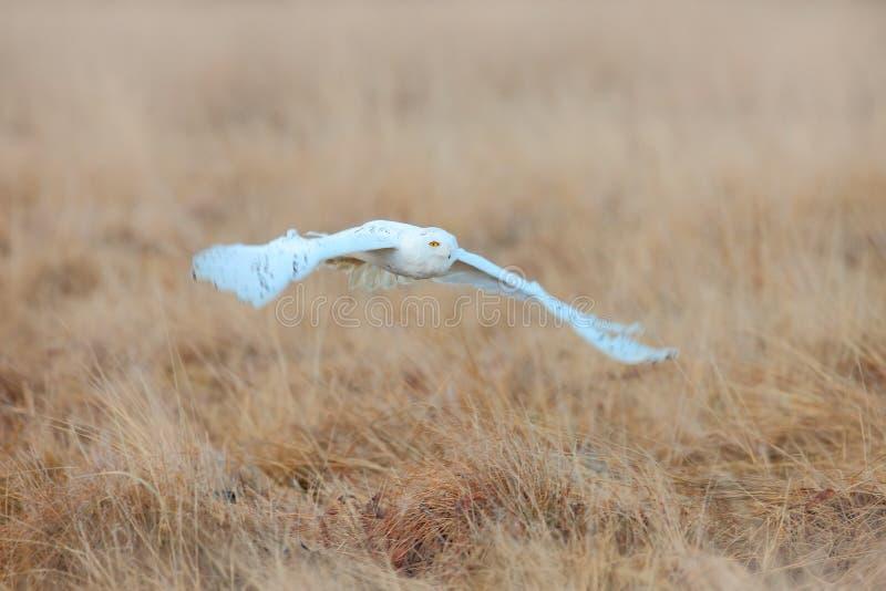 Búho blanco en mosca Búho Nevado, scandiaca de Nyctea, pájaro raro que vuela encendido sobre el prado, escena con las alas abiert fotografía de archivo libre de regalías
