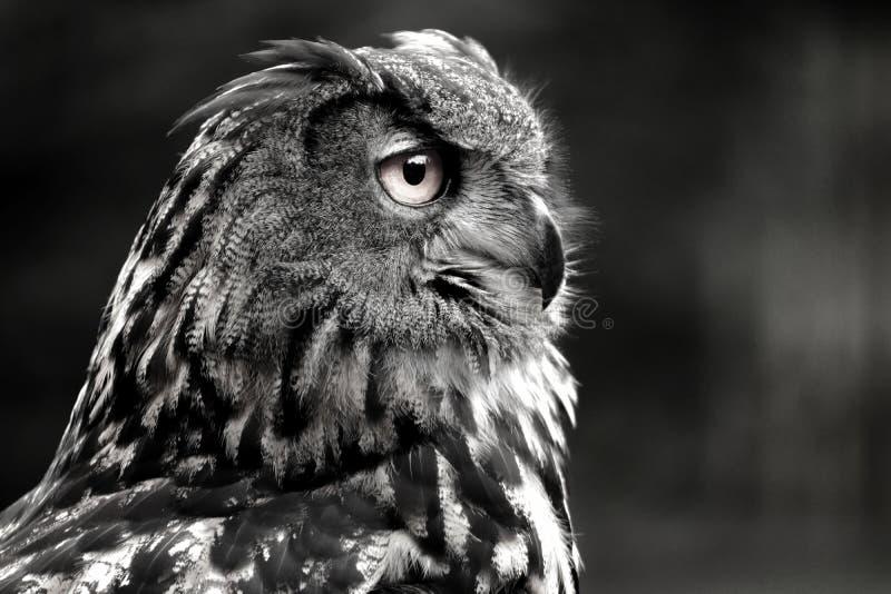 Búho blanco y negro del retrato fotos de archivo
