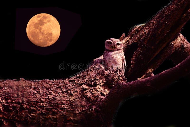 Búho con los ojos grandes que se sientan en rama de árbol fotos de archivo