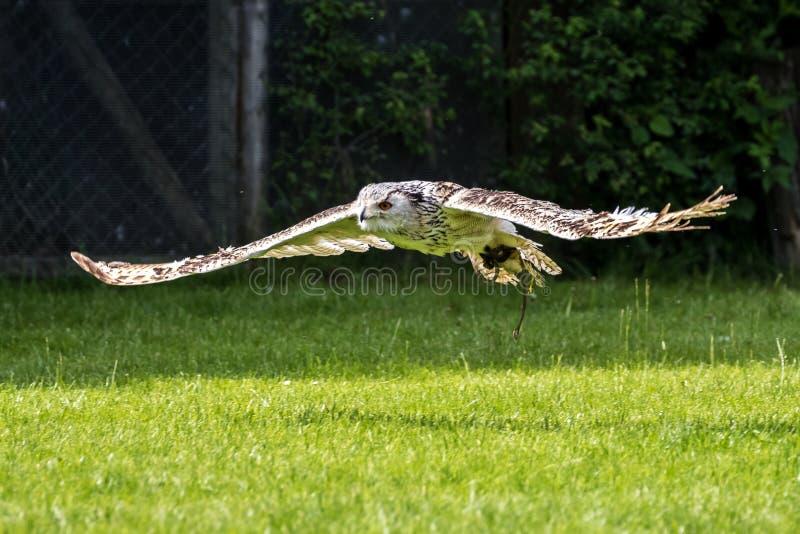 Búho de águila siberiano, sibiricus del bubón del bubón El búho más grande del mundo fotos de archivo libres de regalías