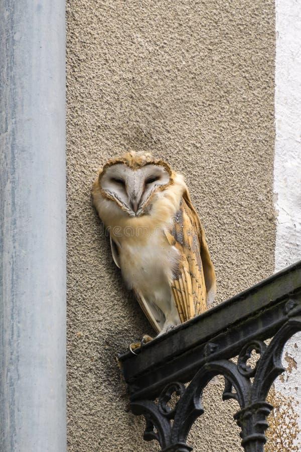 Búho de chillido salvaje que mira derecho del balcón del edificio en ciudad imagen de archivo
