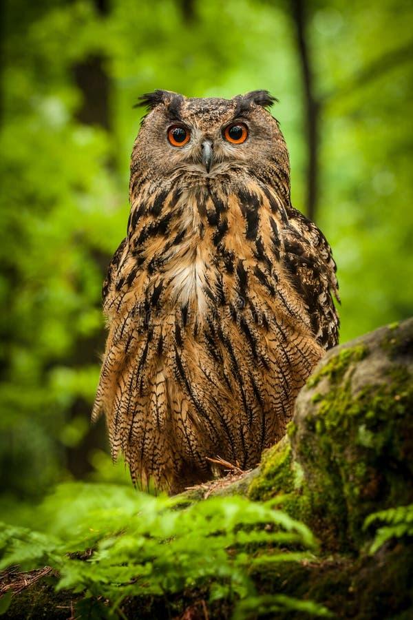 Búho de Eagle imagen de archivo