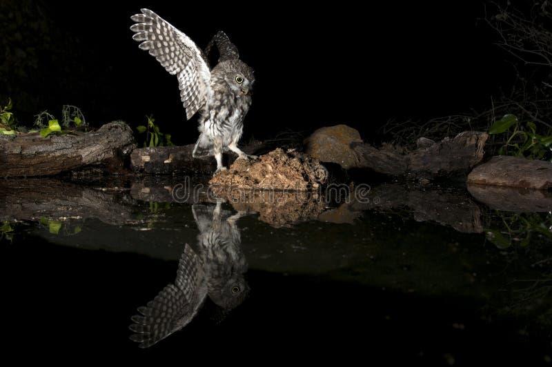 Búho del noctua del Athene, pequeño búho, en vuelo, con la reflexión en el agua fotos de archivo
