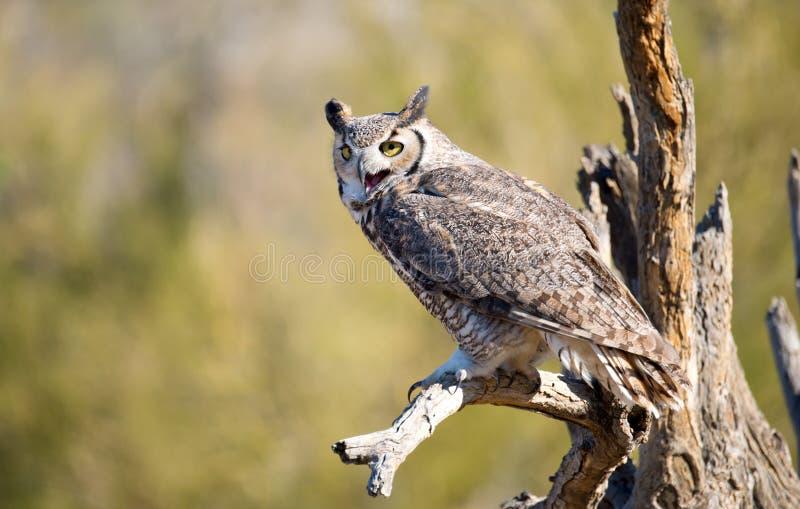 búho Grande-de cuernos, Arizona foto de archivo libre de regalías