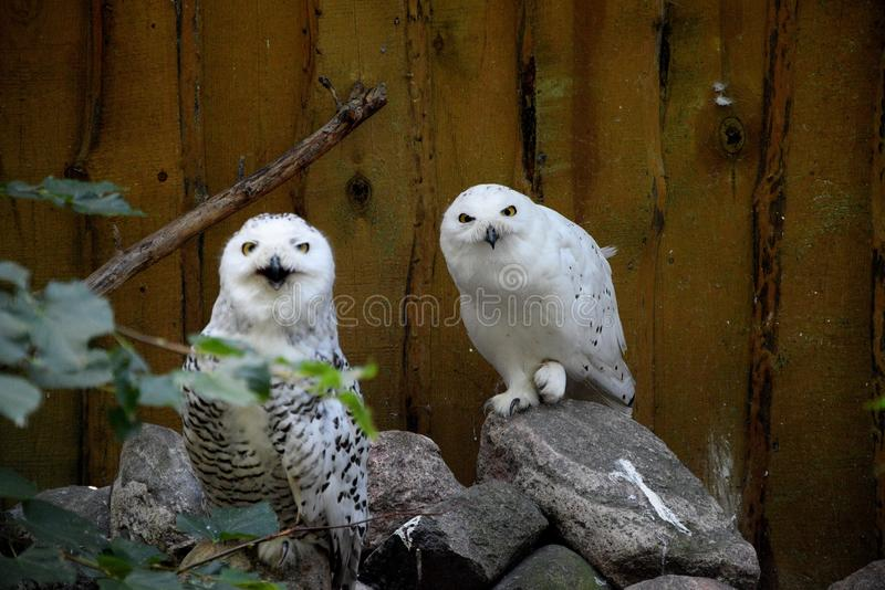 Búhos en el parque zoológico de Riga fotos de archivo libres de regalías