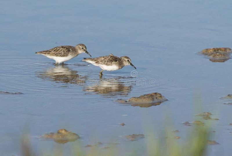 Búsqueda alba del calidris de los Sanderlings para la comida en el agua fotos de archivo