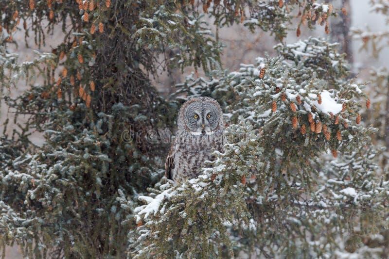 Búsqueda de gran Grey Owl imagenes de archivo