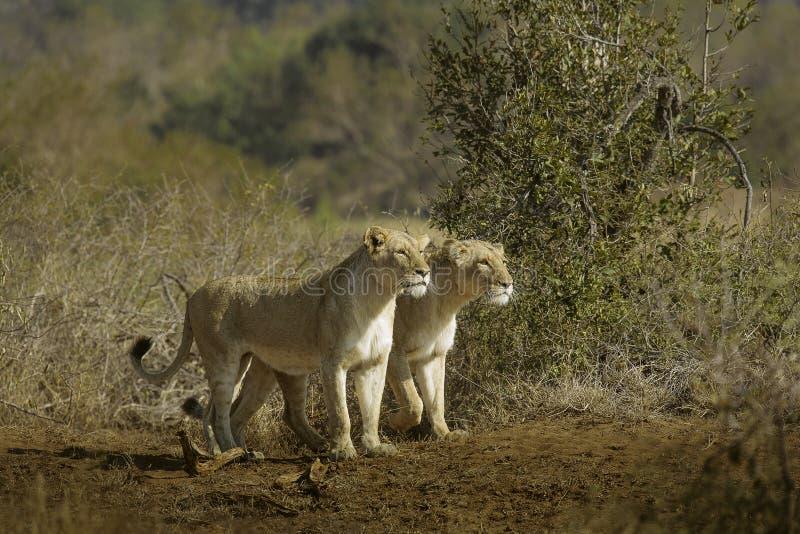Búsqueda de las leonas imagen de archivo libre de regalías