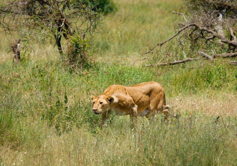 Búsqueda de los leones fotos de archivo