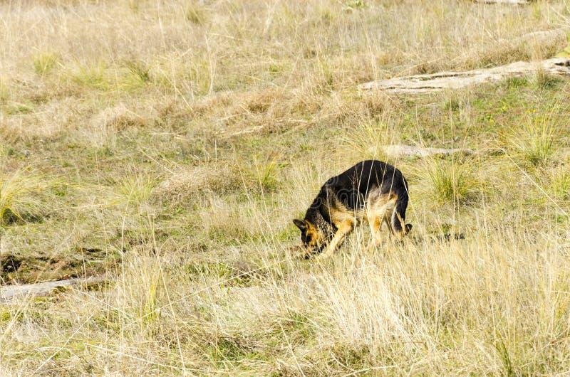 Búsqueda del perro policía del pastor alemán para el objeto peligroso ocultado foto de archivo libre de regalías