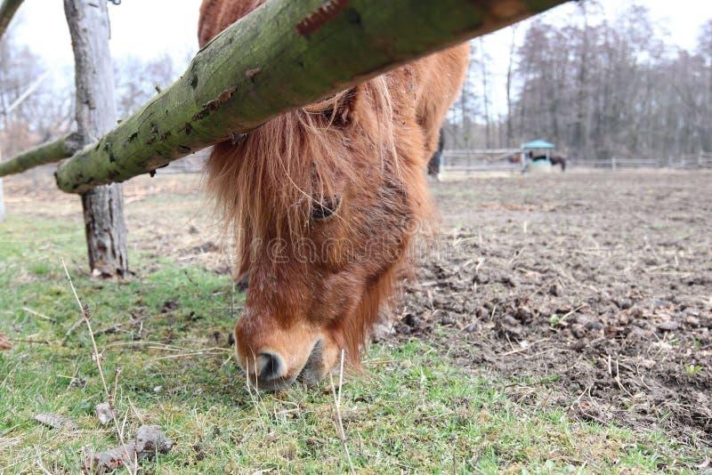 Búsqueda para la comida - un caballo en el pasto imagen de archivo
