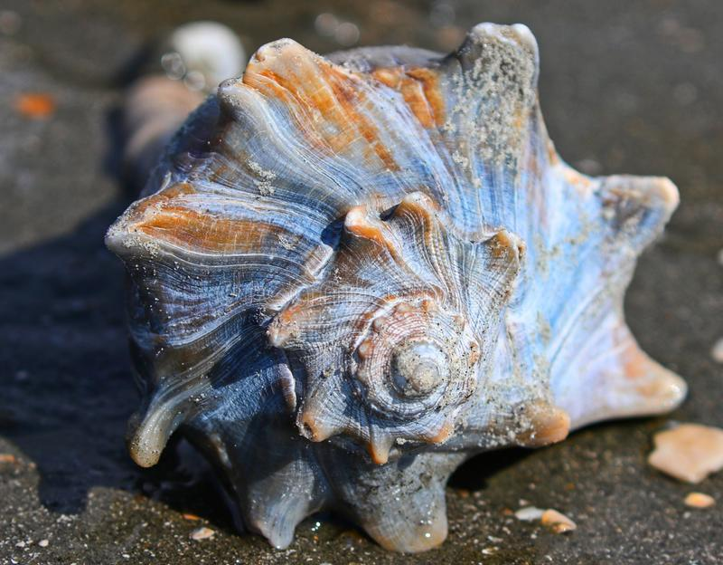 Búzio Shell Bulls Island South Carolina foto de stock royalty free