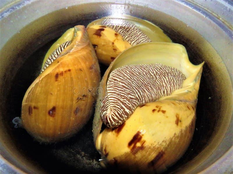 Búzio Shell/grandes caracol/conchs imagens de stock