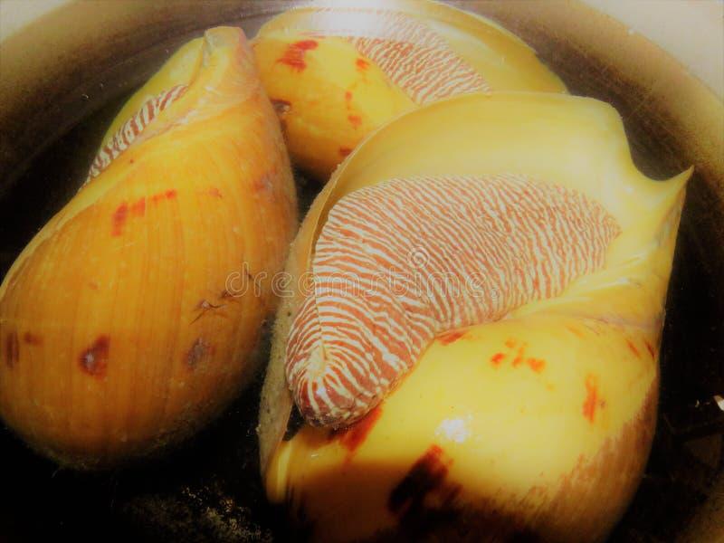 Búzio Shell/grandes caracol/conchs foto de stock