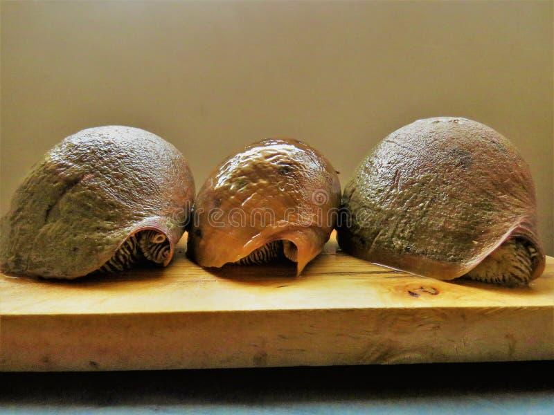 Búzio Shell/grandes caracol/conchs imagem de stock