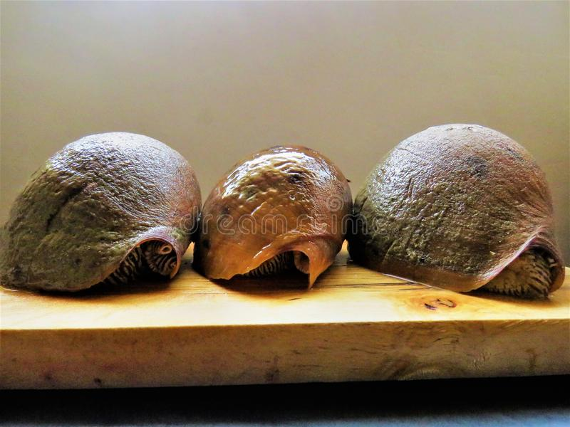 Búzio Shell/grandes caracol/conchs fotografia de stock royalty free
