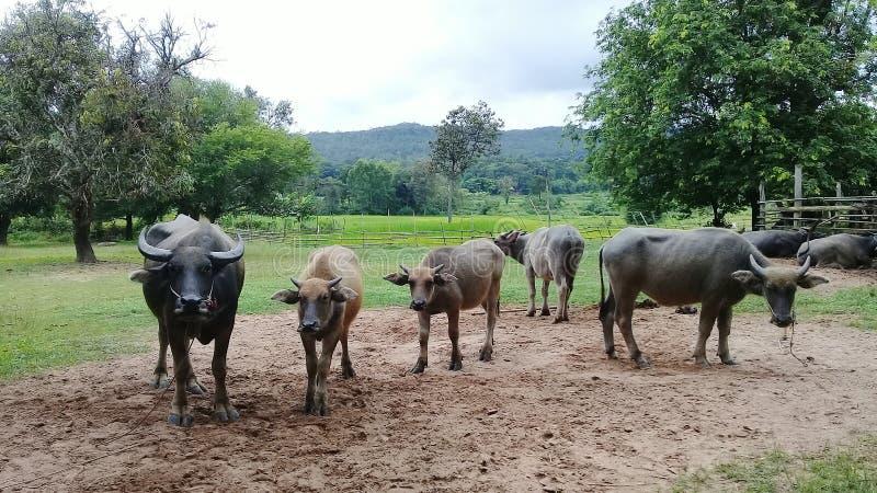 Büffel stockfoto