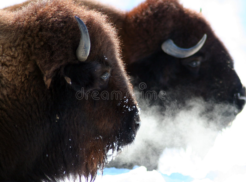 Büffel lizenzfreie stockfotos