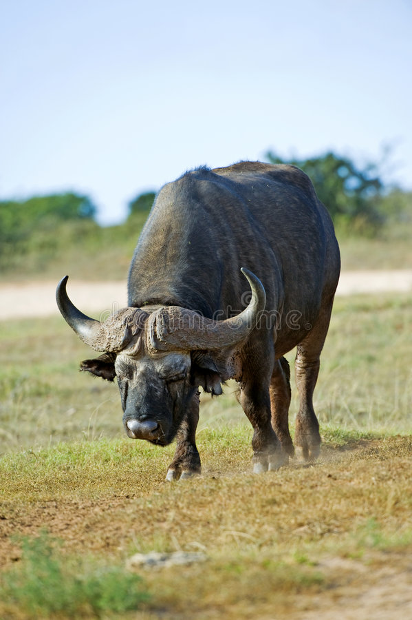 Büffel-Anflug stockbilder