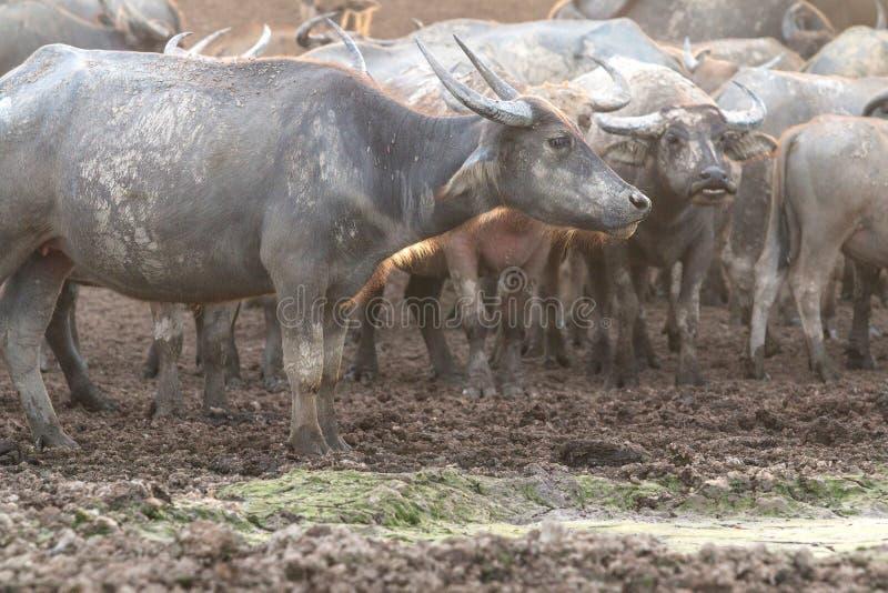 Büffel auf Feld lizenzfreies stockfoto