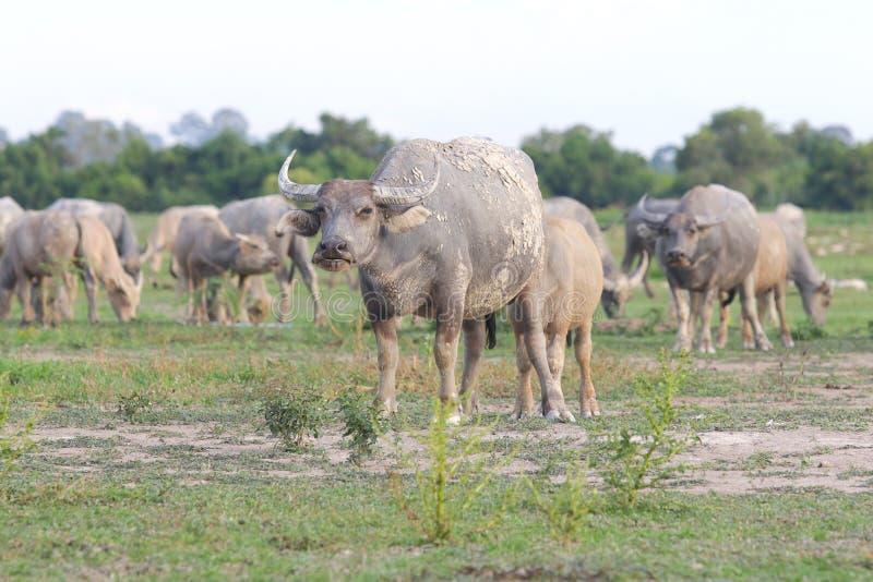 Büffel auf field13 stockbilder
