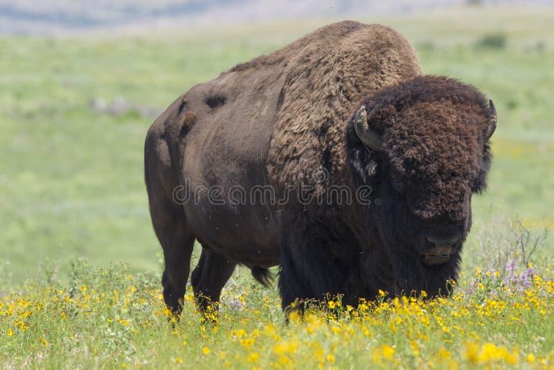 Büffel auf oklahoman Grasland lizenzfreie stockfotos