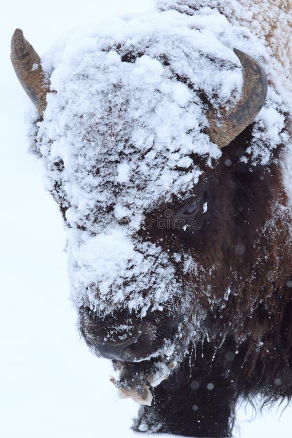 Büffel bedeckt im Eis und im Schnee lizenzfreie stockfotos