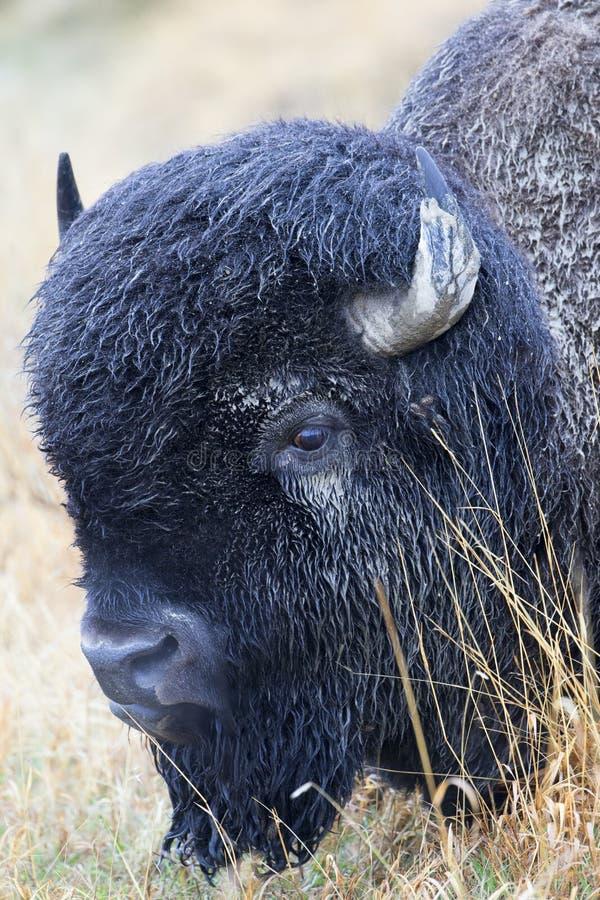 Büffel bedeckt im Schlamm nach Regen lizenzfreies stockbild