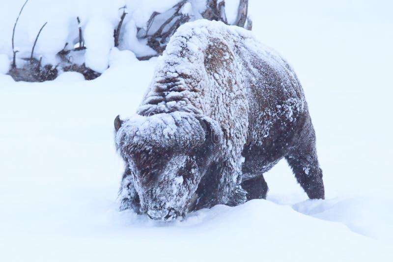Büffel bedeckt im tiefen Schnee und im Frost stockbild