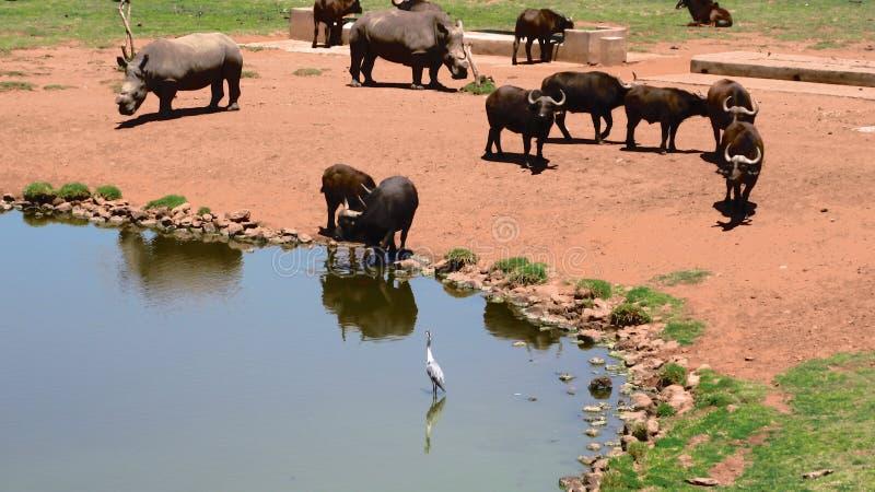 Büffel bei Waterhole lizenzfreies stockfoto