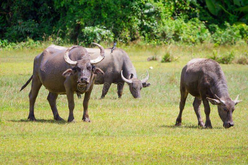 Büffel in den wild lebenden Tieren, Thailand stockbilder