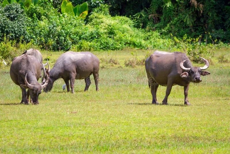 Büffel in den wild lebenden Tieren, Thailand lizenzfreies stockfoto